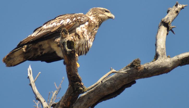 Juv Eagle Perch