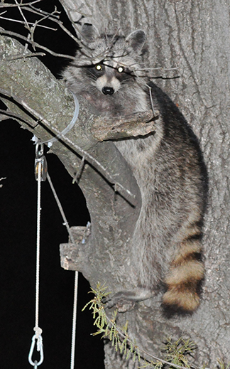Raccon Hanging