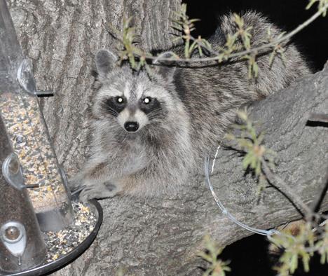 Raccon grabbing the feeder