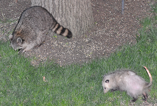 Raccon and Possum