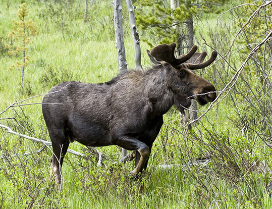 Yellowstone Moose
