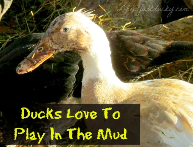 10 REASONS NOT TO RAISE DUCKS - Life Is Just Ducky
