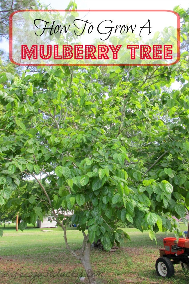How to grow mulberry trees life is just ducky grow your own mulberry tree a wonderful plant for your garden a great sciox Image collections