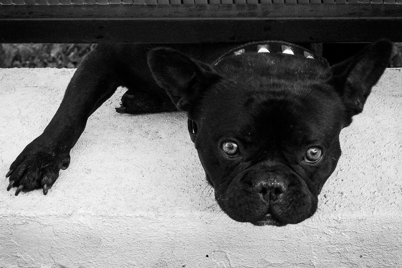 Portrait manqué d'un chien méchant
