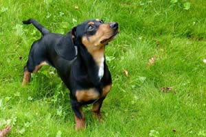 cervical-ivdd-in-dogs