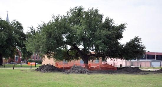 Live oak tree in it's original location