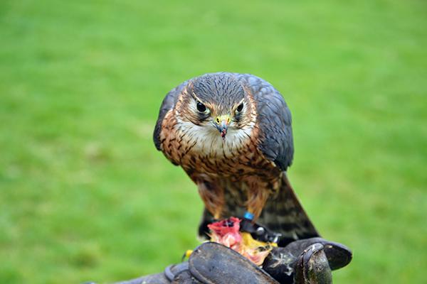 A Falcon at the Hawk Conservancy