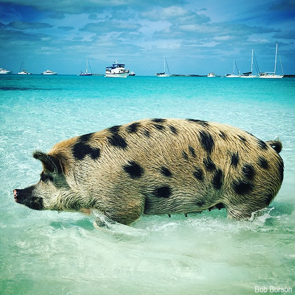 Exuma Swimming Pigs 02
