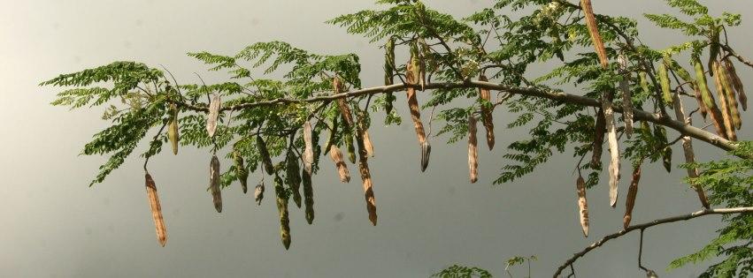Moringa Tree and How to Eat It – Life of Wellness