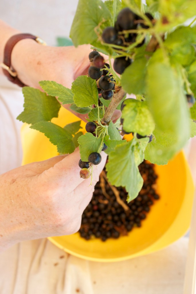 Jane's hands with black currants