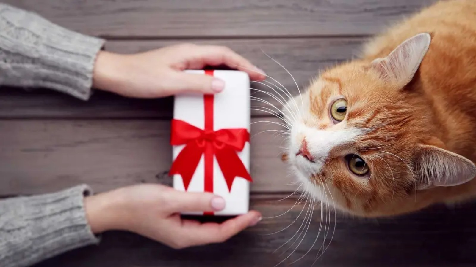 A woman holding a wrapped gift out to a cute orange and white cat.
