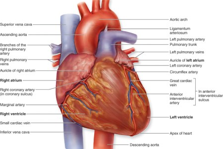 Interior heart structure electronic wallpaper electronic wallpaper label heart anatomy geoface f cf e e label heart anatomy heart anatomy diagram without labels diagrams on pictures the heart labeled valves the circulatory ccuart Images