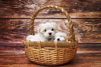 AD feature_basket puppies