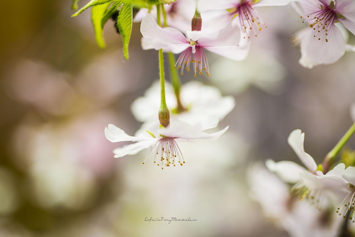 Sakura144 copy