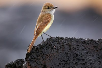 Galapagos Flycatcher On Santia bird