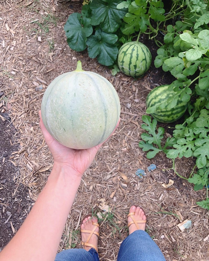 Melon in fall garden