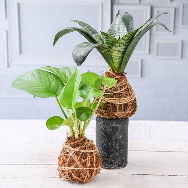 C for Creative ways of decorating your house with plants