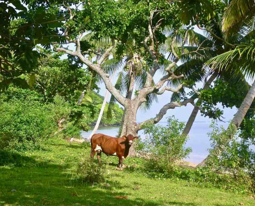 A cow standing under the palm trees