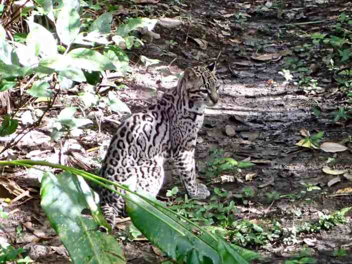 Bicycle touring through Belize - Ocelot at Belize Zoo