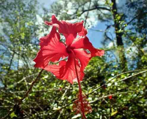 Fincy Ixobel - bright red Rhododendron flower