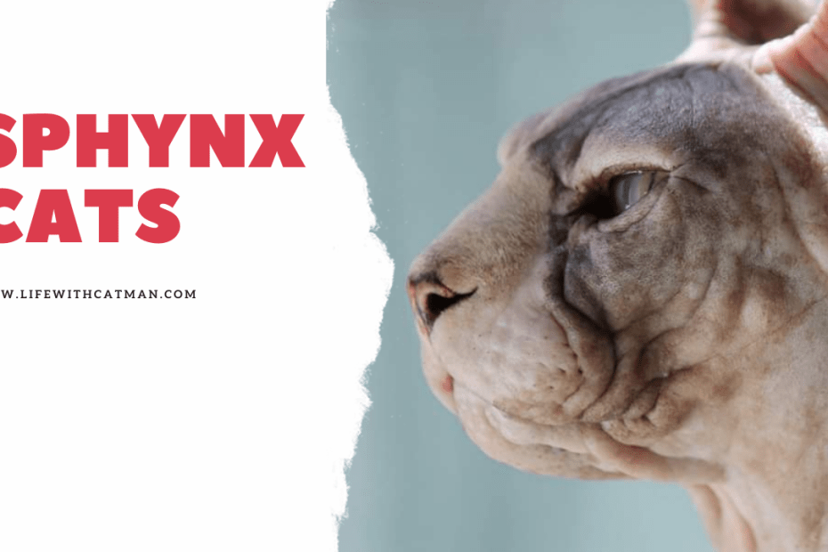 facts about sphynx cats