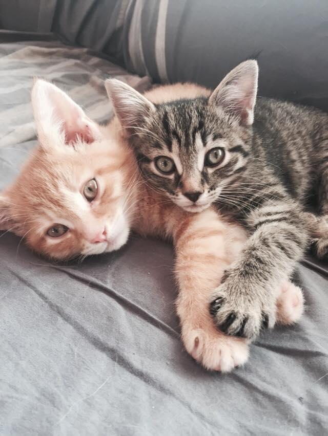 adopt kittens