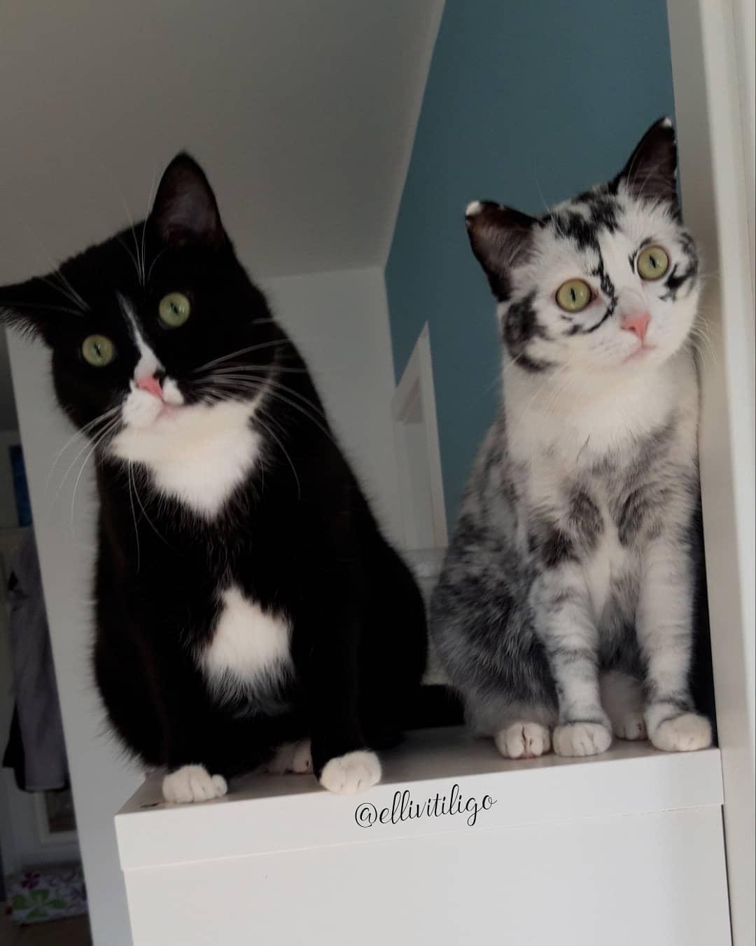 vitiligo cat