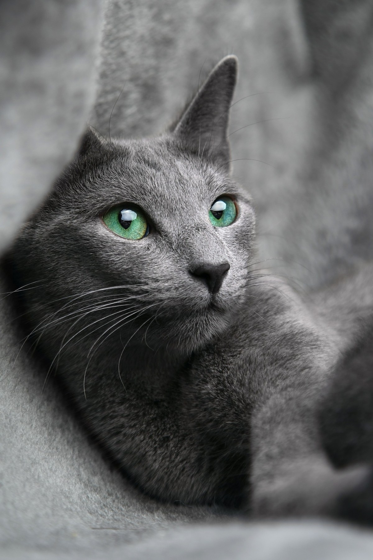Russian Blue Cat Facts And Personality Traits Catman