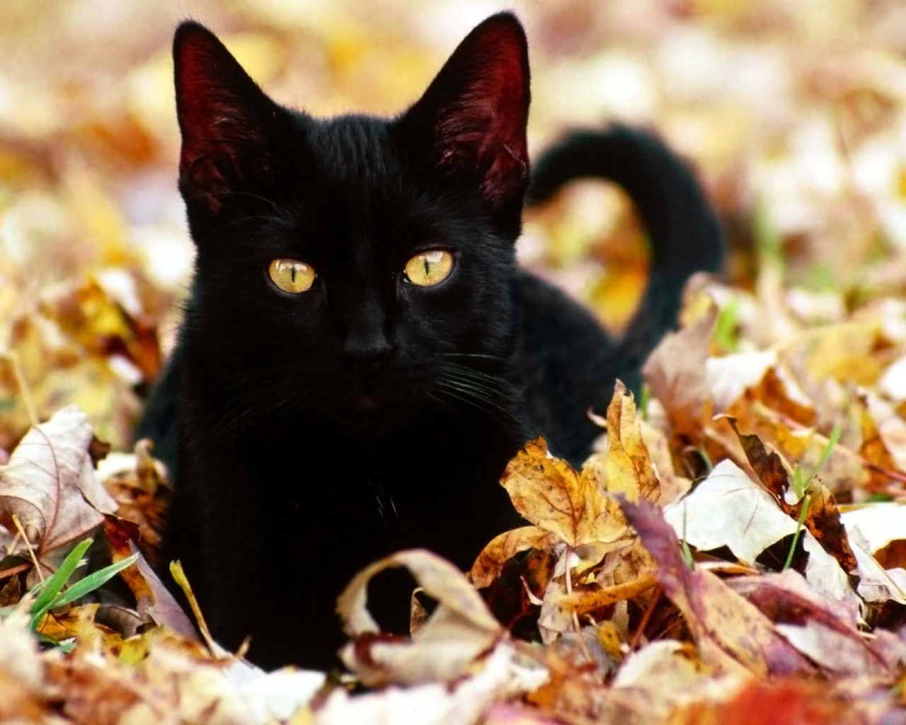 Image result for pictures of black cats