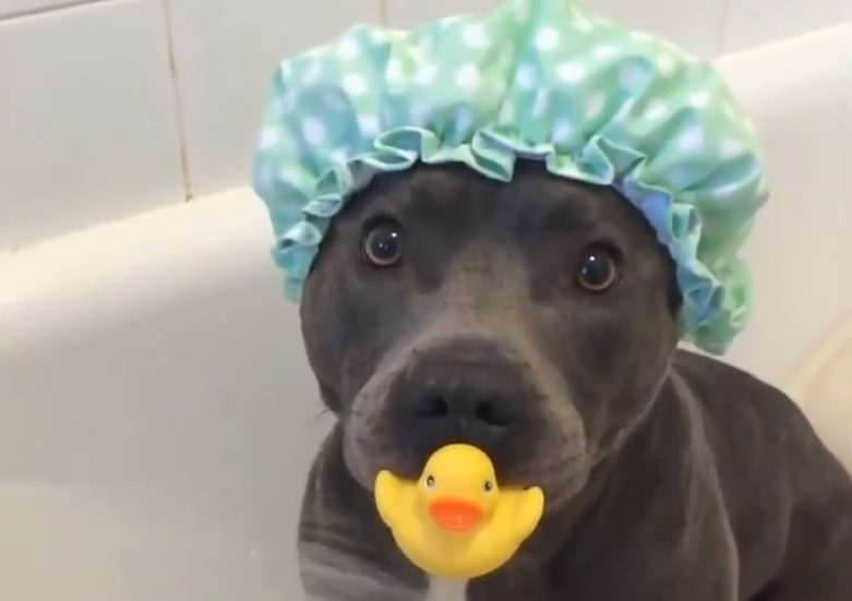 The Single Most Dangerous Dog In The World Takes A Bath