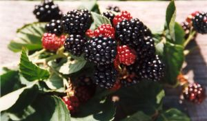 Blackberries-chester-thornless
