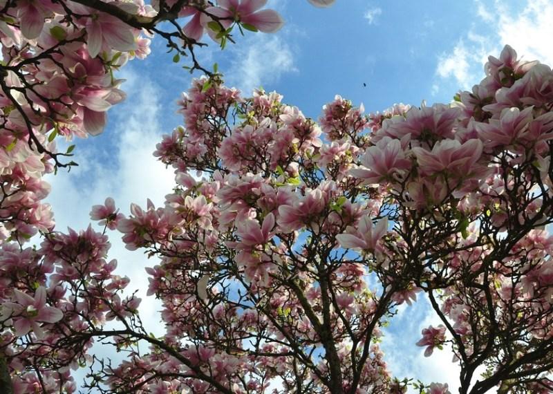 Primavera em Ettlingen - A praça e suas árvores de magnolia em Stadtgarten Ettlingen