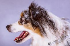 T17L0106 6 - Hundeporträts - mehr als langweilige Fotos - tierportraets, portraets, allgemein - Tierporträts, Porträts, Hunde, Haustiere, Geschenke