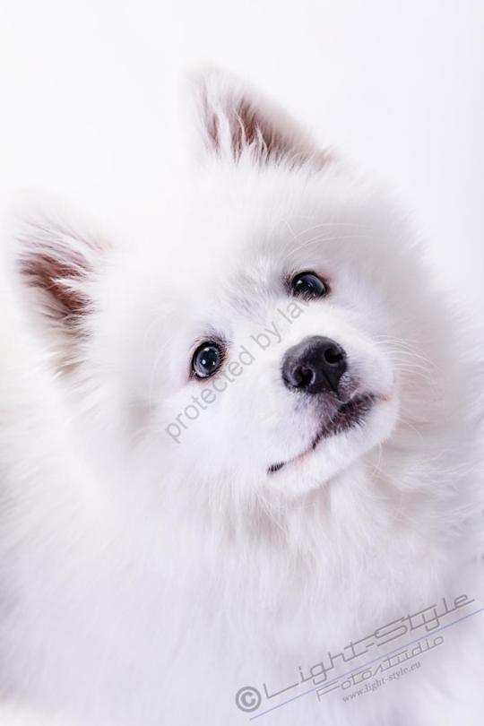 Hundeporträt Fila 14 - Hundeporträt - Fila-14 - tierportraets, allgemein -