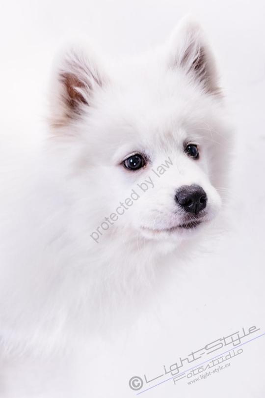 Hundeporträt Fila 15 - Hundeporträt - Fila-15 - tierportraets, allgemein -