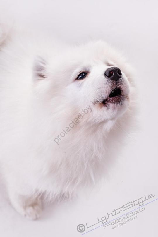 Hundeporträt Fila 16 - Hundeporträt - Fila-16 - tierportraets, allgemein -