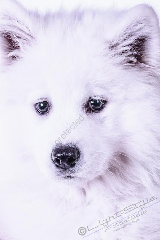 Hundeporträt Fila 2 - Hundeporträt - Fila-2 - tierportraets, allgemein -