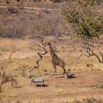 Südafrika 2019 158 - Die wilde Bestie ;-) - tierportraets, portraets, allgemein - Tierfotos, Hundeporträts, Hunde