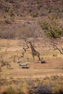 Südafrika 2019 158 - Afrika - Ein Traum wurde wahr - urlaubsfotos, outdoor, offene-worte, non-commercial, naturfotos, natur, allgemein, alles, abseits-des-alltags -