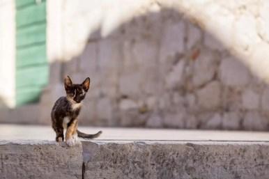 dubrovnik kitten