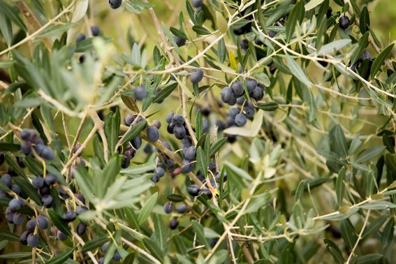 A tree heavy with black olives.