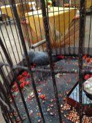 Bujumbura - Parrot in cage