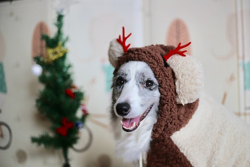 Dog in reindeer suit at Christmas