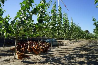 Pappelruten 4 Monate nach Pflanzung im Hühnerauslauf