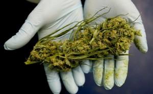cannabis pronta per il mercato
