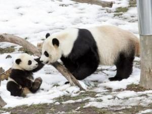 Cucciolo di Panda nato allo Zoo di Washington