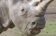 Morto rinoceronte bianco, ne restano tre in tutto il mondo