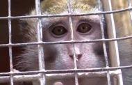 Vivisezione - Salvati macachi destinati agli esperimenti dell'Università di Modena