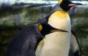 Pinguini gay dello Zoo di Berlino adottano un uovo rifiutato dalla madre