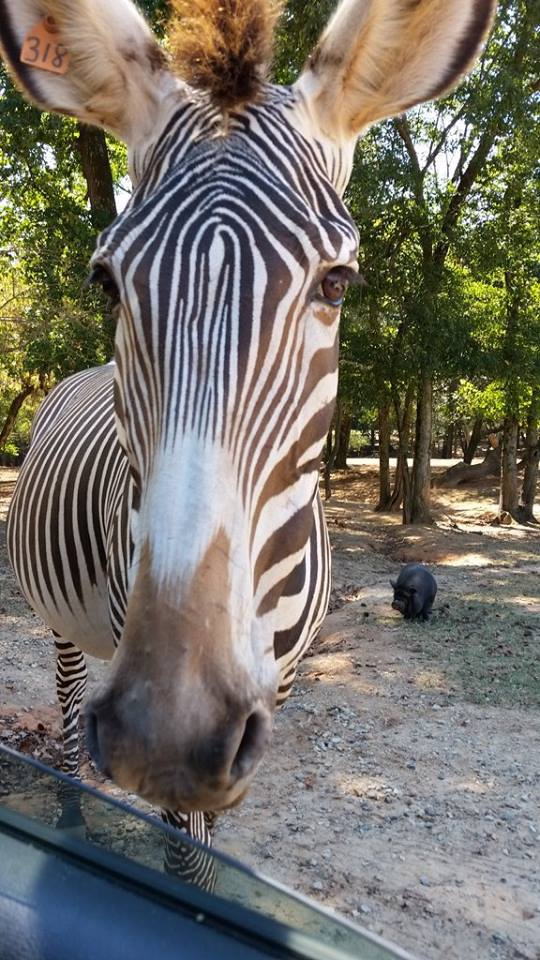 Lazy 5 Ranch is a drive-thru safari style zoo located in Mooresville, NC just a short drive from Charlotte! Find all the details here or our visit here!